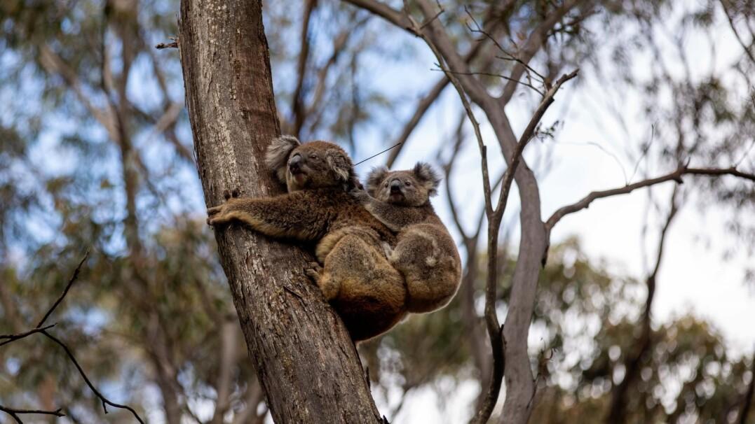Uratowane z pożarów w Australii koale wracają na wolność