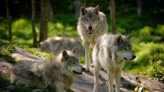 Wilk wzięty za psa wrócił do swoich. Niepewnie wszedł do lasu