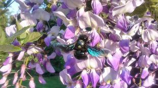 Pszczoły samotnice pierwszy raz od 80 lat w Polsce. Zawędrowały nawet na Pomorze