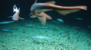 Naukowcy odkryli przedszkole piłogonów (Marine Institute, INFOMAR, EMFF)