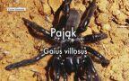 Pająk z gatunku Galus villosus